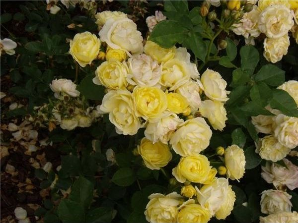 image - How to Creating a Victorian Rose Garden
