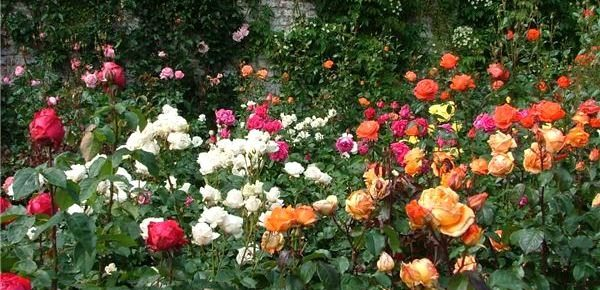 How to Create a Victorian Rose Garden