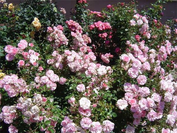 image - How to Create a Victorian Rose Garden