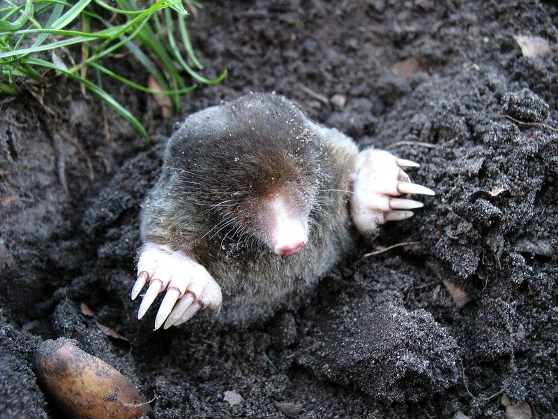 How to Get Rid of Moles in the Yard or Lawn - Best Way to Get Rid of Moles