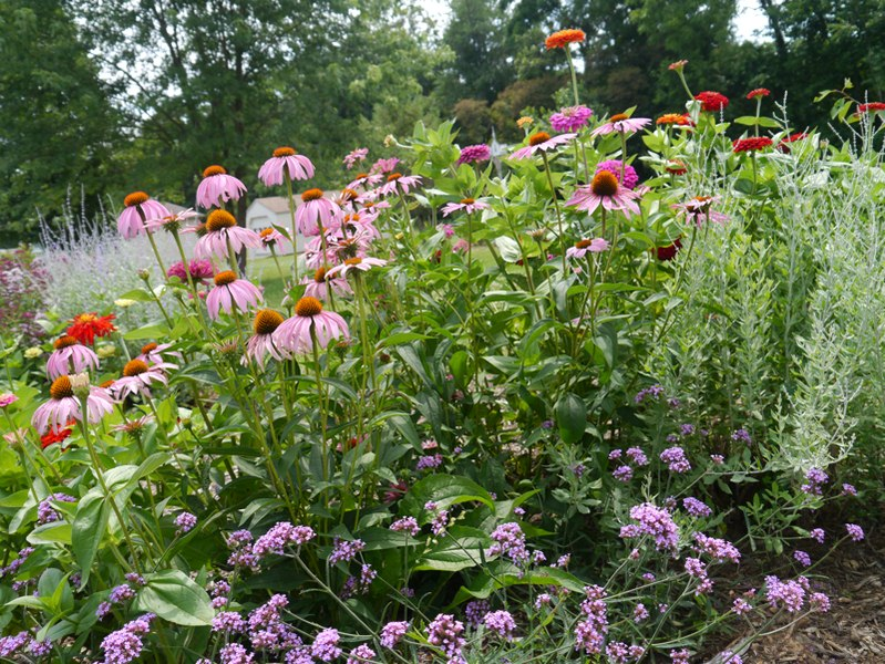Coneflower - How to Create a Cottage Garden: a Guide to Cottage Gardening
