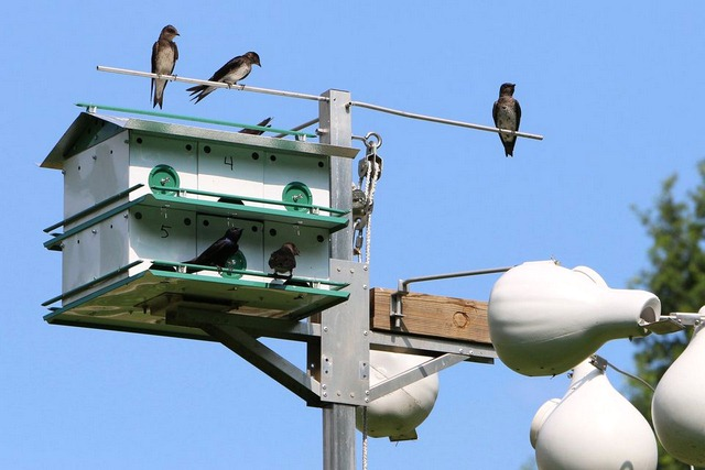 How big is the hole in a purple martin house?