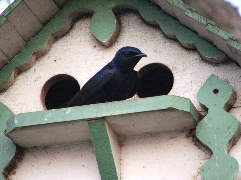 Purple Martin House Plans: How to Build a Purple Martin House