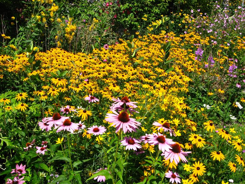 gardens with black eyed susans - Creating a Butterfly Garden