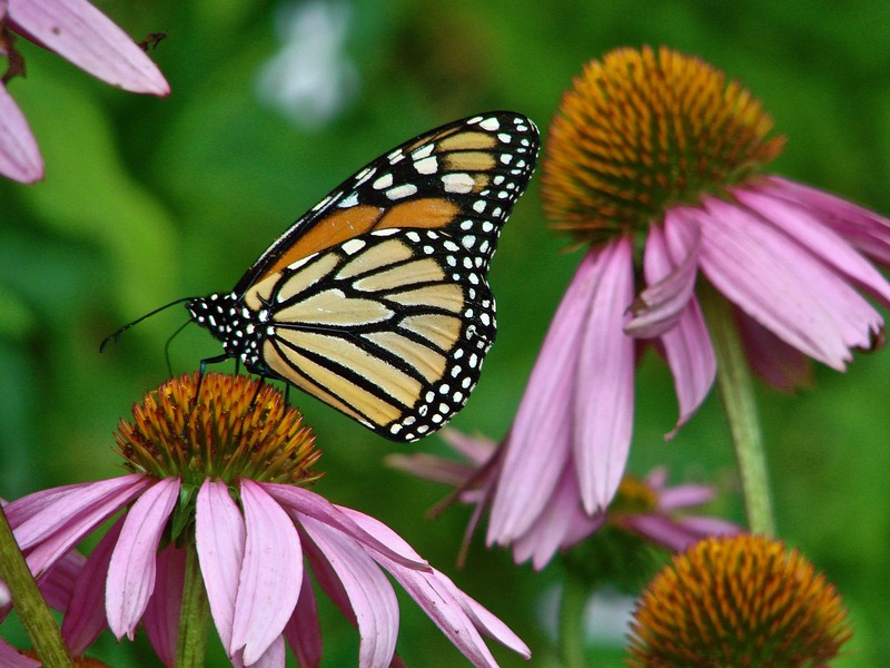 Create Your DIY Butterfly Garden - How to Make a Butterfly Garden