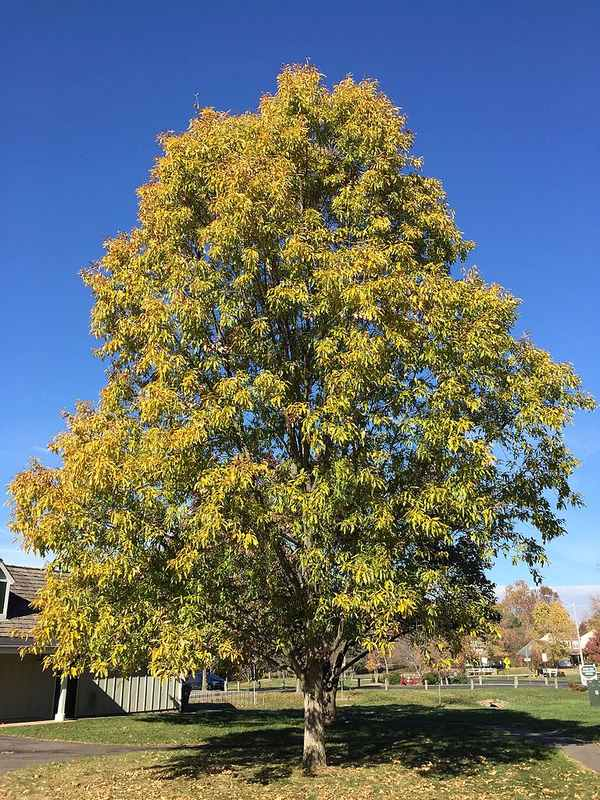 Sawtooth Oak (Quercus acutissima) - Alternative Home Cooling Methods