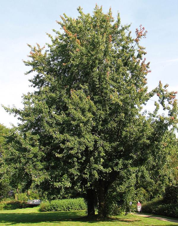 Silver Maple (Acer Saccharinum) - Alternative Home Cooling Methods
