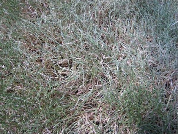 Drought-Stressed Grass - Learn When is the Best Time to Water the Grass and Why