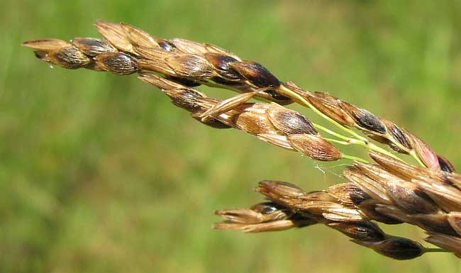 Johnson Grass Seeds - How to Get Rid of Johnsongrass