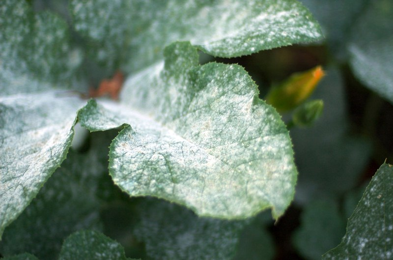 Powdery Mildew - Top 5 Lawn Diseases: How to Treat Lawn Disease