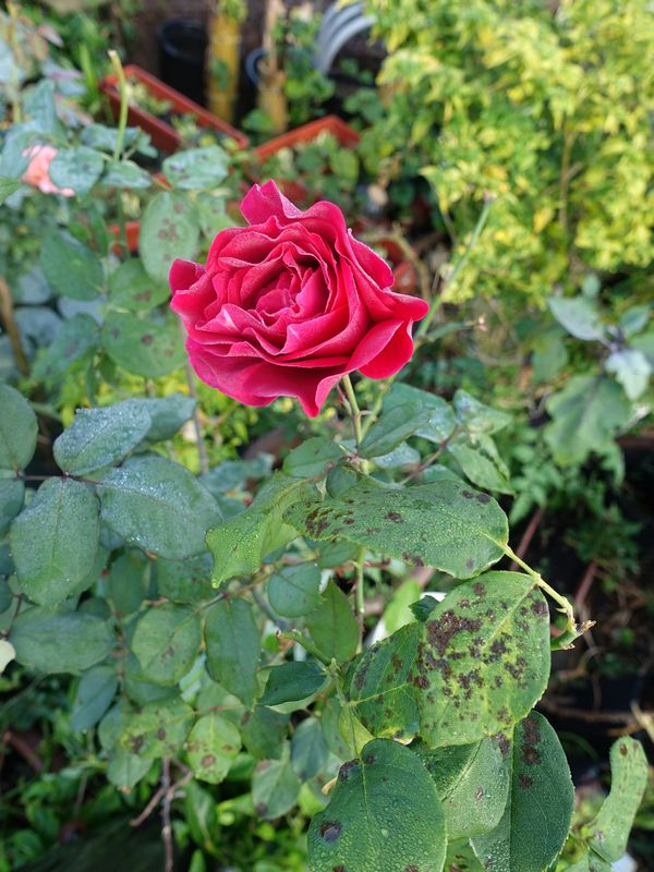 Common Rose Pests, Introduction and Prevention Guide