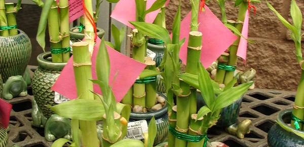 Lucky Bamboo: Everything You Need to Know