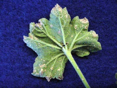 Edema on Geranium - Diagnosing Plant Problems