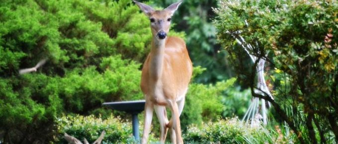 Gardening Tips: Natural Deer Deterrent, Living, Loving & Gardening With Deer