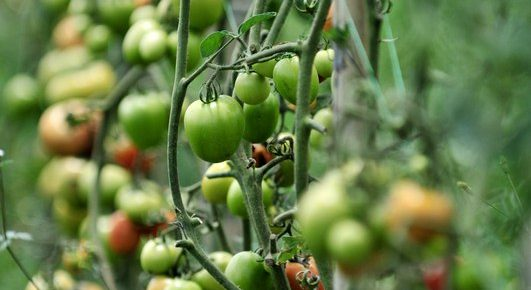 Growing Tomatoes: Plant Seedlings on Their Side for a Strong Root System