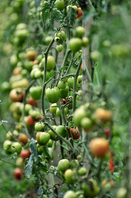 Growing Tomatoes - Plant Tomato Seedlings on Their Side for Strong Root System