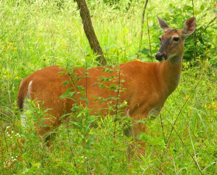 Gardening Tips - Natural Deer Deterrent, Gardening with Deer