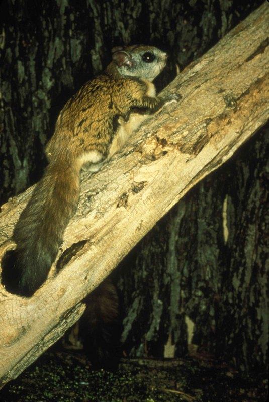 A Little Squirrels in Attic