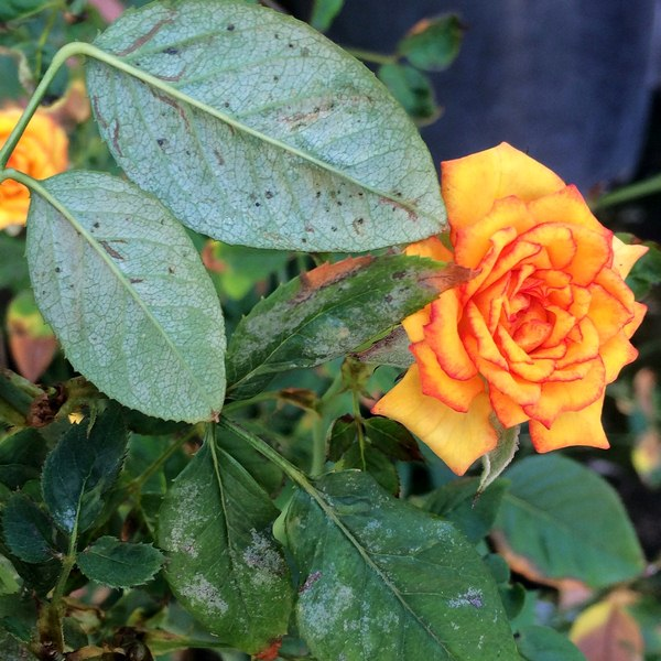 Spider Mites - Common Rose Pests
