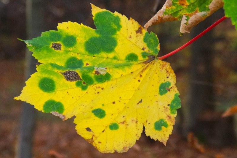 Magnesium Deficiency - Diagnosing Plant Problems