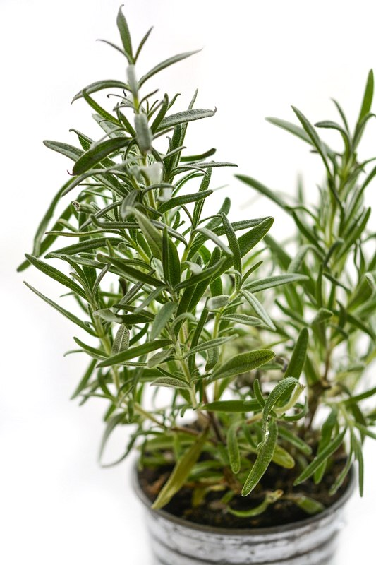 Rosemary - Kitchen Herbs: How to Grow and Where to Use Them