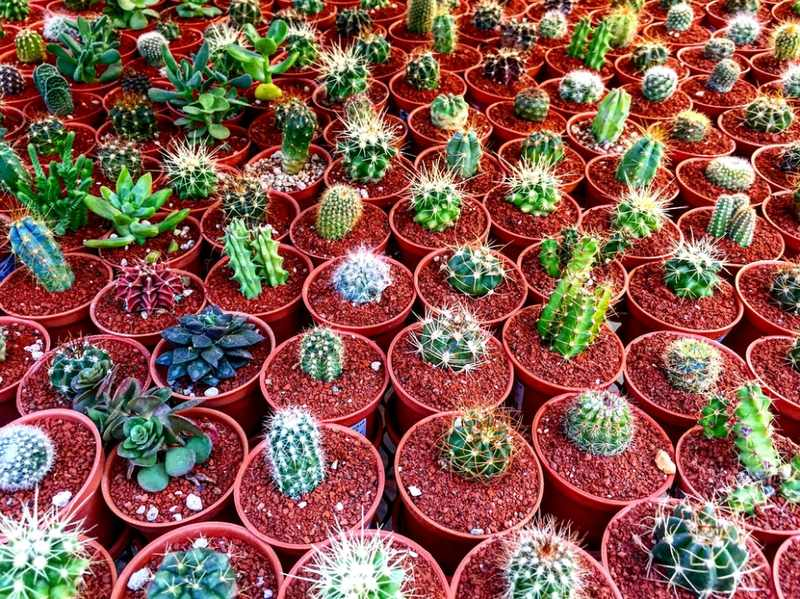 Cactus, Succulent, Desert, Beautiful Houseplants From Around the World