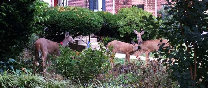 Is a Deer Proof Garden Possible?