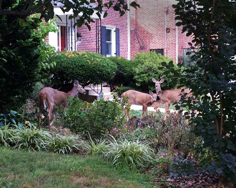 Cute as they may be, deer can destroy your home garden - Is a Deer Proof Garden Possible