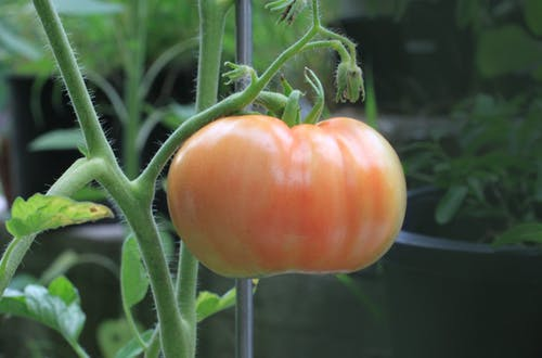 The Perfect Guide for Growing Tomatoes in Pots