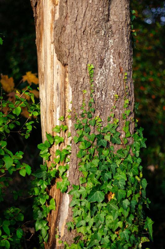 Euonymus Climbing Vine – Evergreen