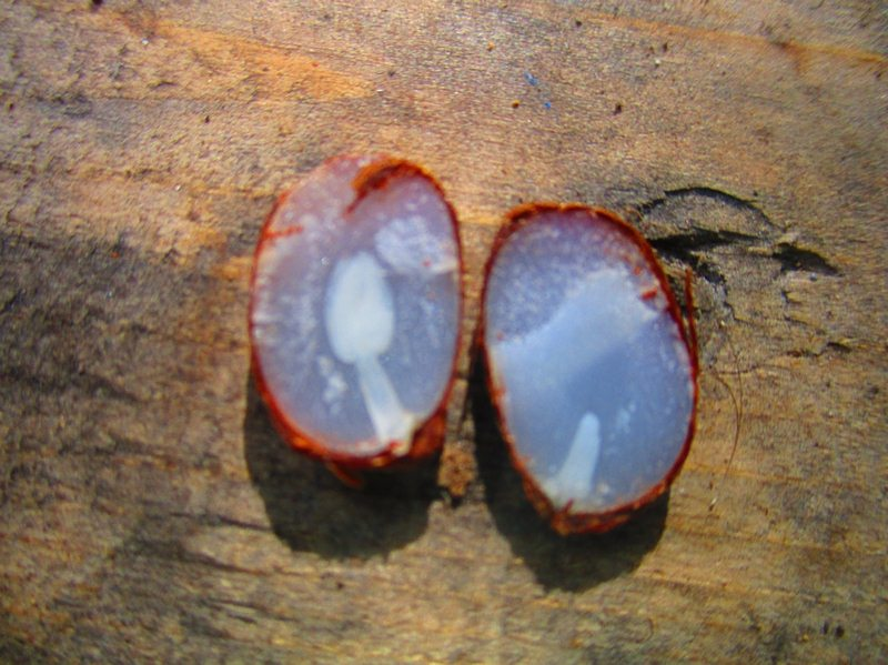 Persimmon Seeds Predict Winter Weather