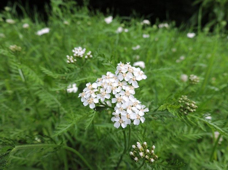 image - Yarrow (Achillea millifolium)
