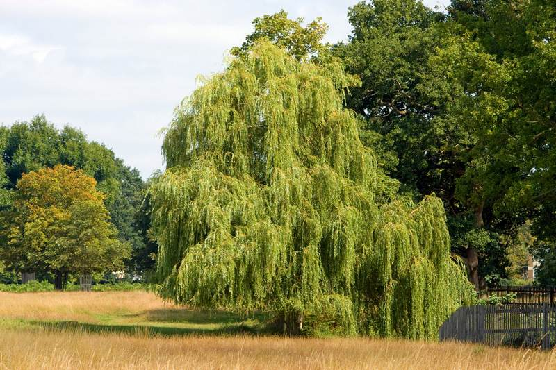 image - Willow is a Plant That Will Prevent Soil Erosion