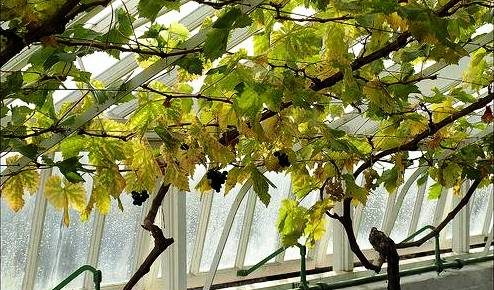 Caring for Grapes in the Cold Climate Greenhouse