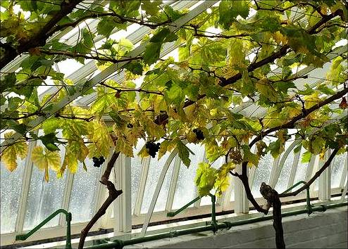 image - Greenhouse Grapes