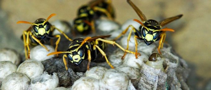 5 Pro Tips to Prevent Wasp Infestation in Your Home
