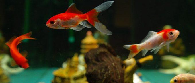How to Care Aquarium Fish in Winter