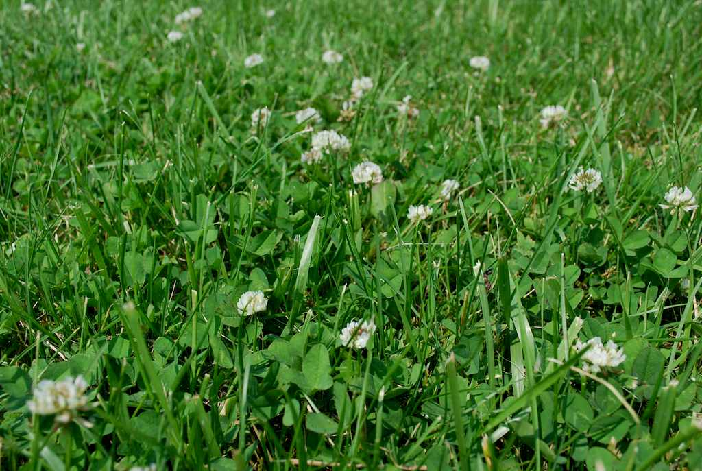 image - Why Do I Have So Much Clover in My Lawn