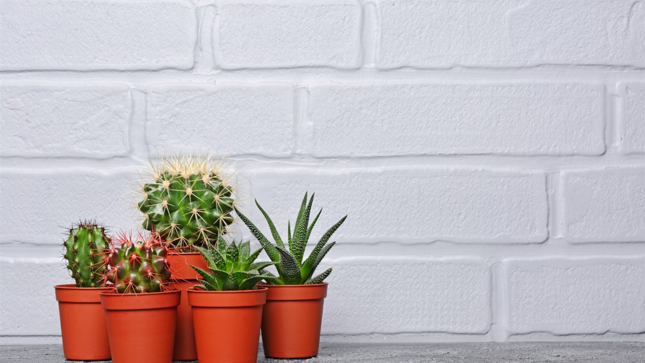 image - Small, pretty cacti are the best indoor plants for your room rental in Chicago.