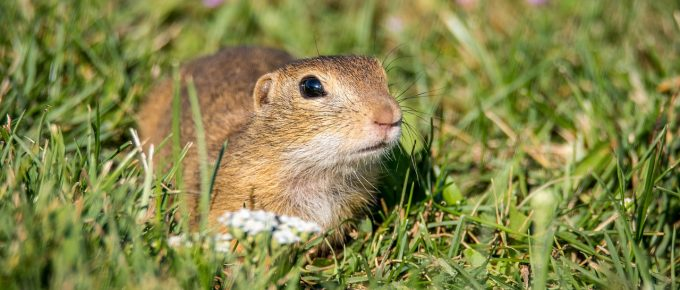 7 Home Remedies for Getting Rid of Gophers in Your Yard