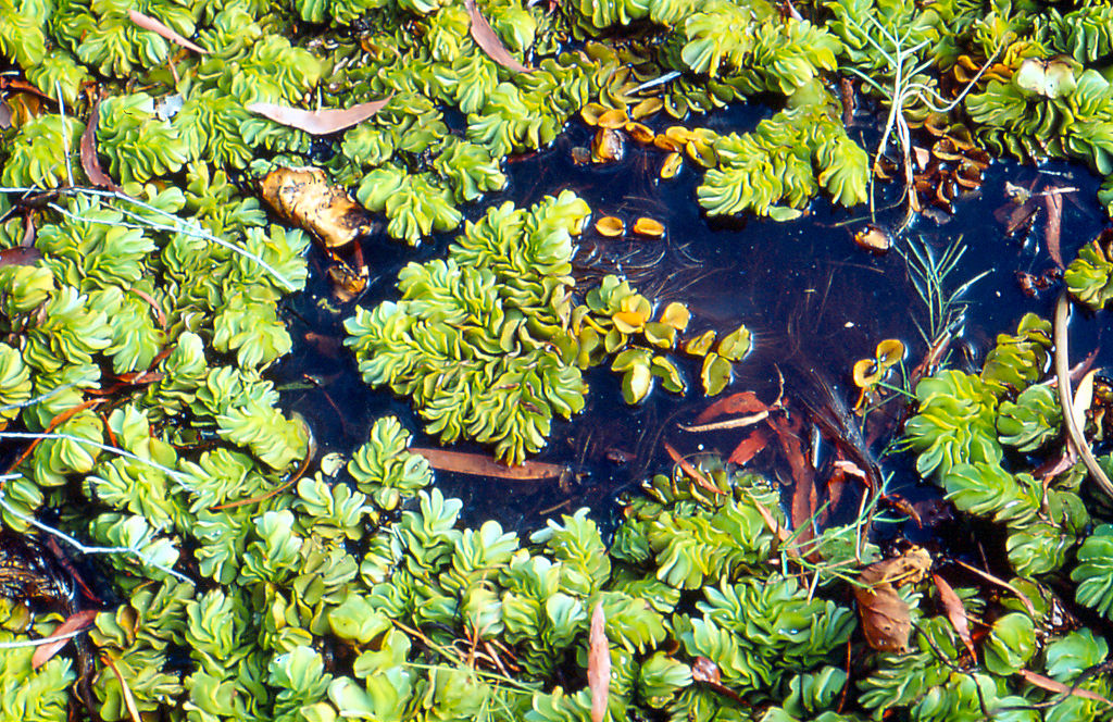 image - Aquatic Weeds Are Invading Our Freshwater Ponds