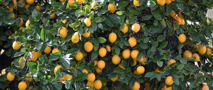 Tips to Care for a Meyer Lemon Tree