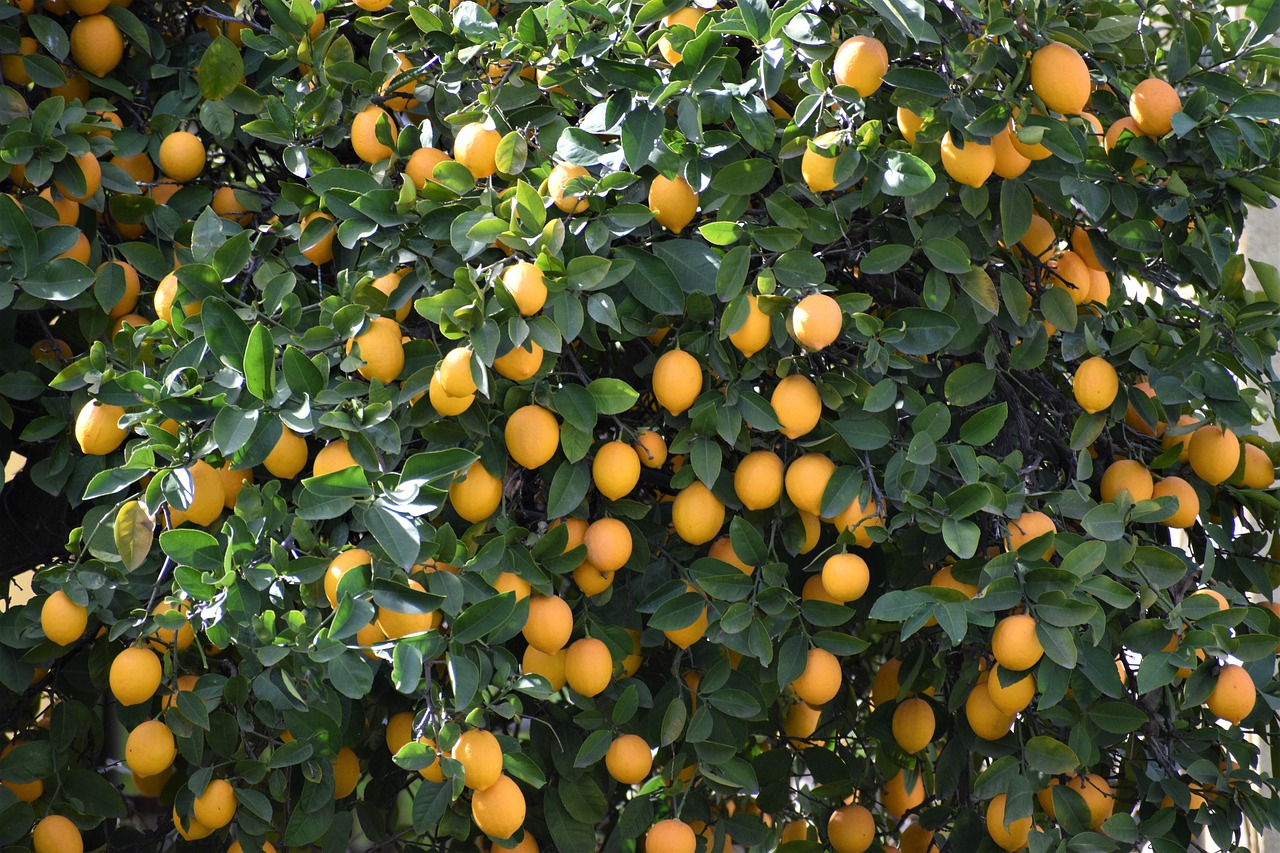 image - Tips to Care for a Meyer Lemon Tree
