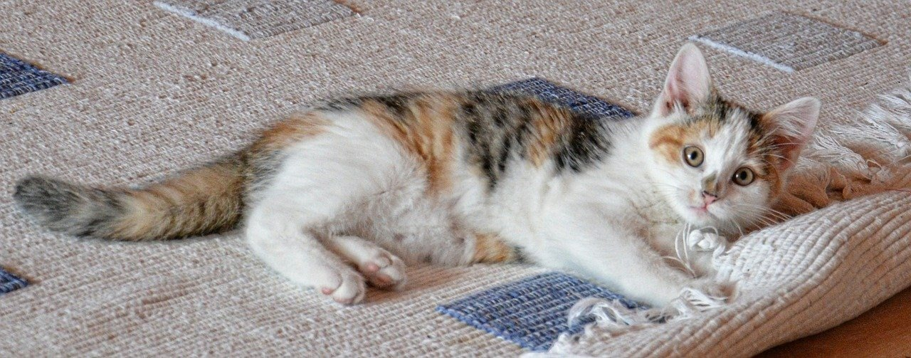 image - Why Professional Carpet Cleaning Is Important for Pet Owners