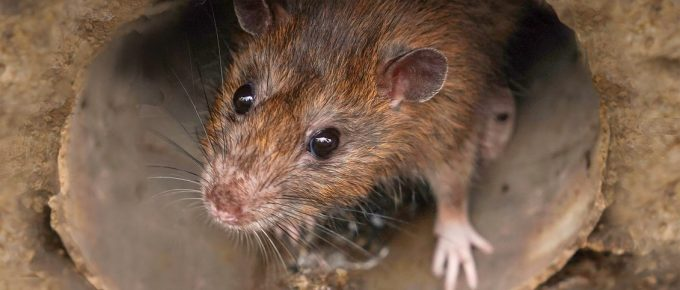 Why You Should Protect Your Home Against Rats