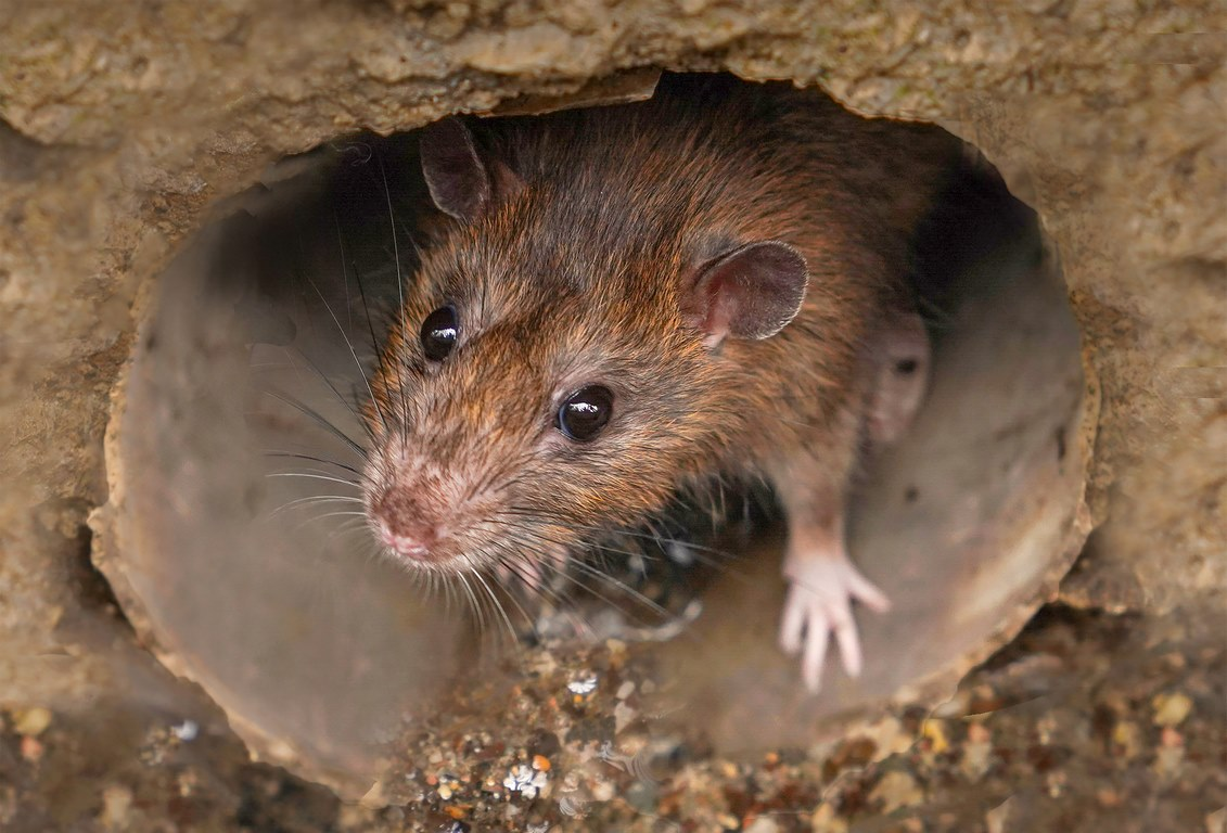 image - Why You Should Protect Your Home Against Rats