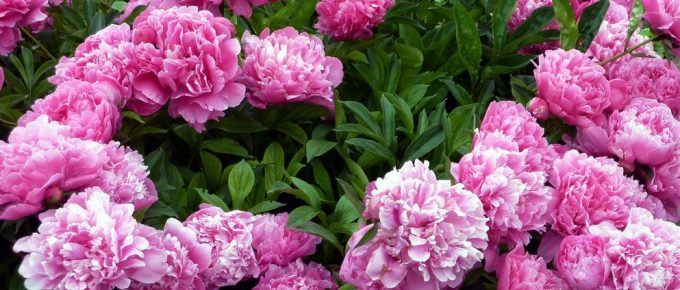 How to Pick Good Peonies Flowers