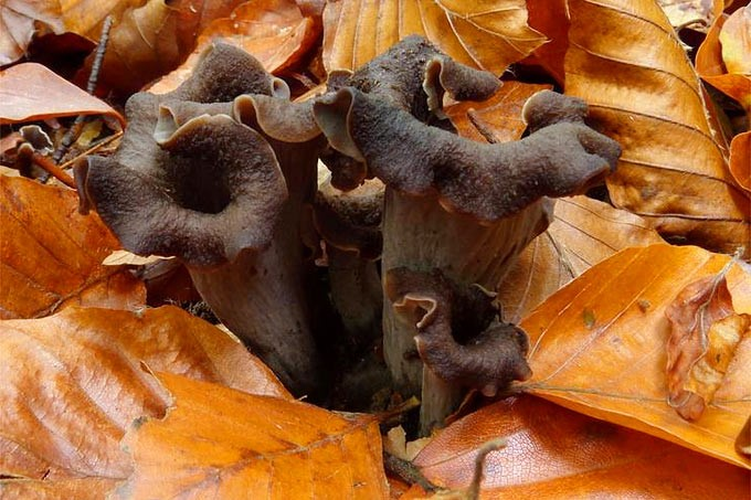 image - The Most Popular Edible Mushrooms Information And Recipe Suggestions