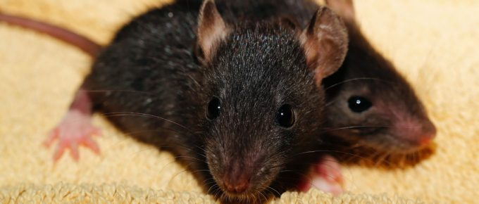 Heard Scurrying Little Feet in Your House? Call Pest Control Houston to Exterminate Bugs and Get Rid of Small Animals!